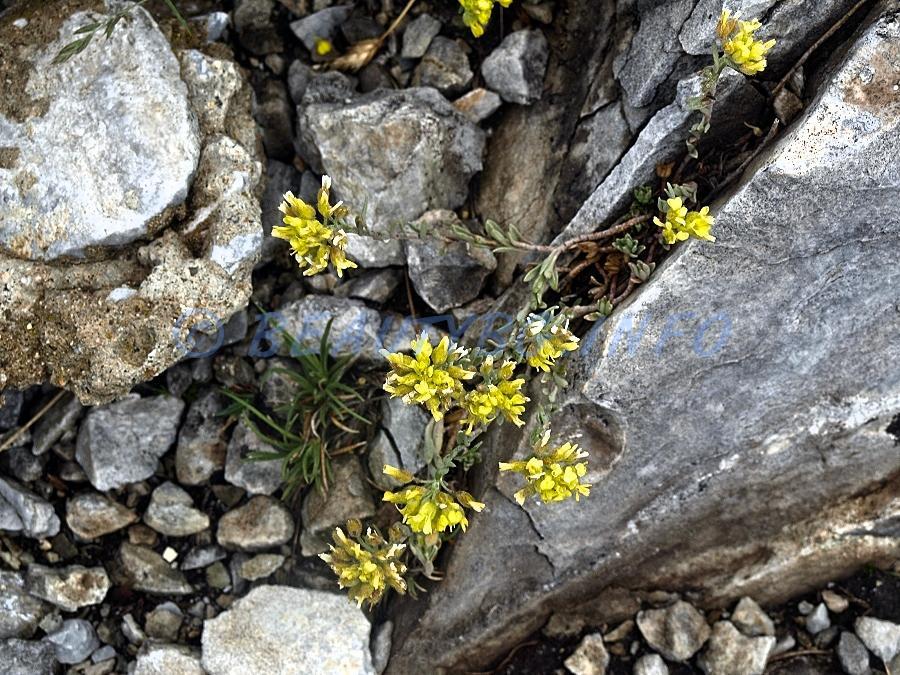 цвете-на-Гоцев-връх
